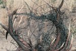 Antlers_wrapped_with_wire-11.JPG